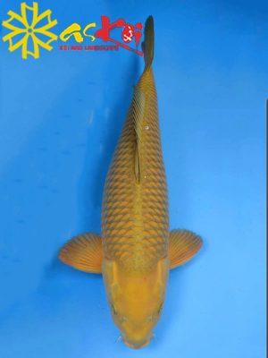 Koi Chagoi size 10 - 65 cm