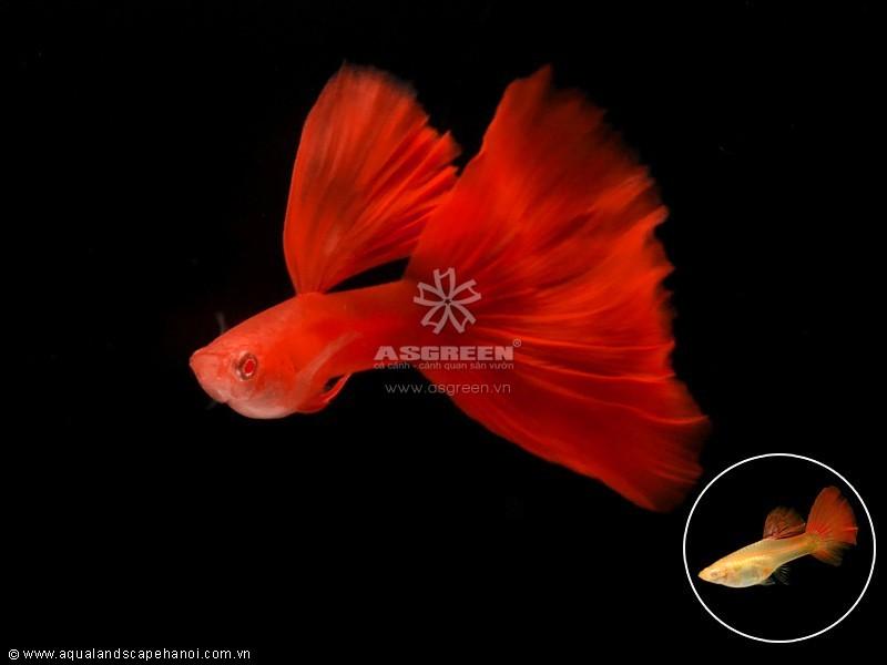 Cá bảy màu thuần chủng – fullred