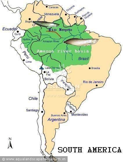 Địa bàn phân bố tự nhiên của cá ngân long: lưu vực sông Amazon (vùng màu xanh) và các nước Guyana, French Guyana ở phía Đông Bắc. Cá hắc long chỉ phân bố trong nhánh sông Negro.