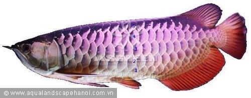 """""""Cao lưng"""" kim long hồng vĩ có màu sắc phát triển lên đến hàng vảy thứ năm."""