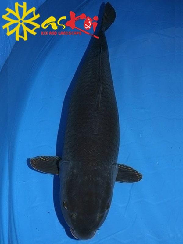 Koi Karasu size 10 – 65 cm