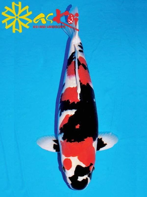 Koi Showa size 10 - 65 cm
