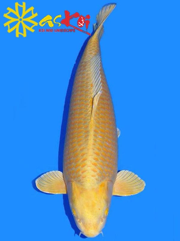 Koi Yamabuki Ogon size 10 - 65 cm