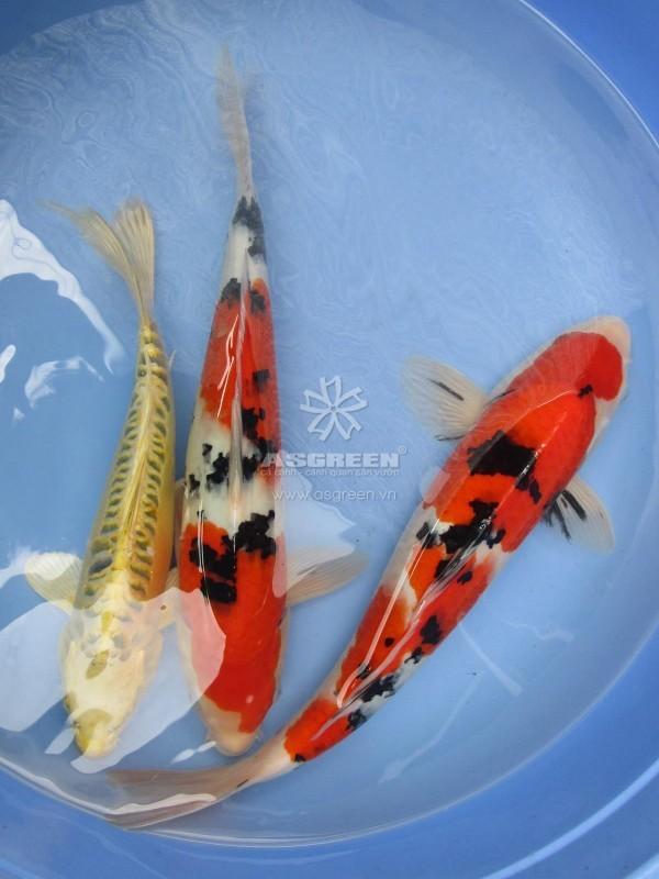 Con giống cá Koi – Hikarimuji & Sanke