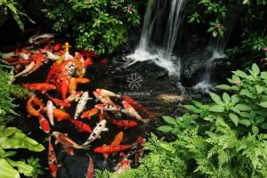 Mẫu hồ cá Koi truyền thống Nhật Bản 27