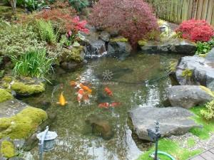 Mẫu hồ cá Koi truyền thống Nhật Bản34