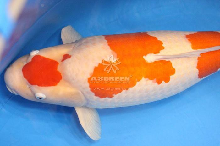 Cá koi Kohaku