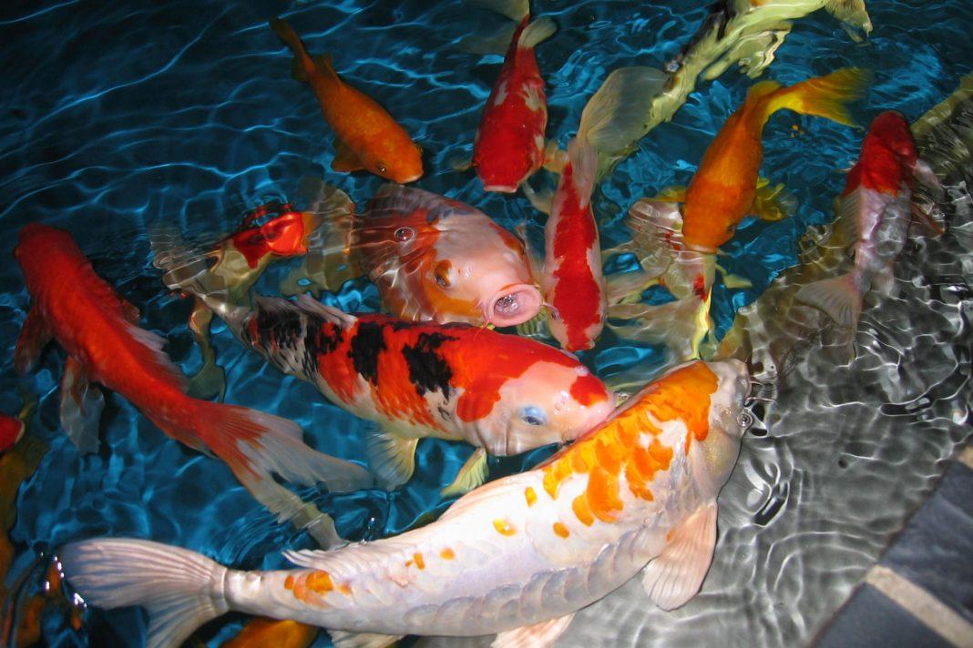 Bộ sưu tập cá Koi đẹp 21