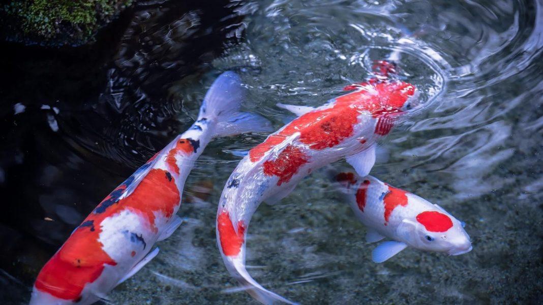 Bộ sưu tập cá Koi đẹp 2