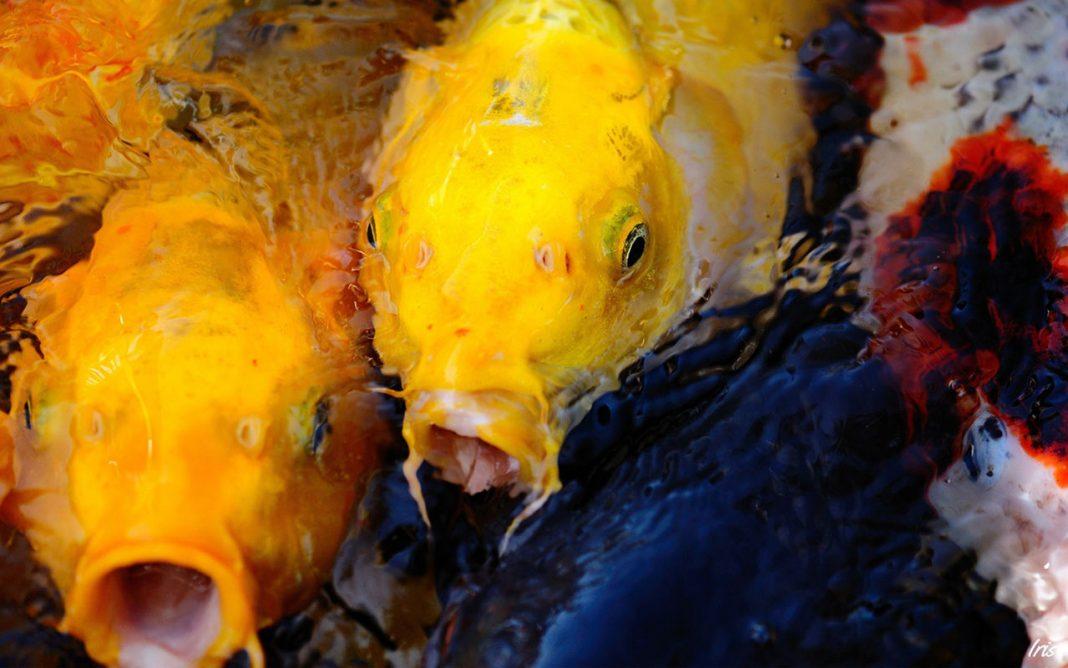 Bộ sưu tập cá Koi đẹp 4