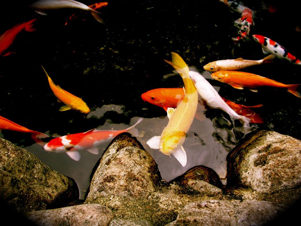 Bộ sưu tập cá Koi đẹp 6