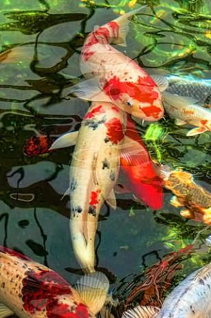 Bộ sưu tập cá Koi đẹp 7