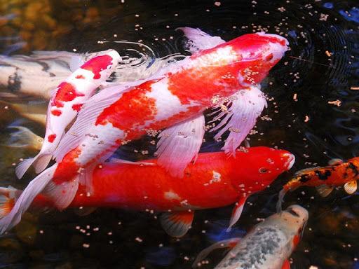 Bộ sưu tập cá Koi đẹp 8