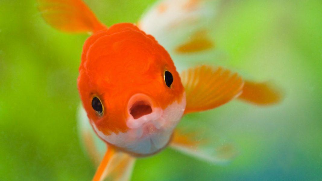 Bộ sưu tập cá Koi đẹp 9