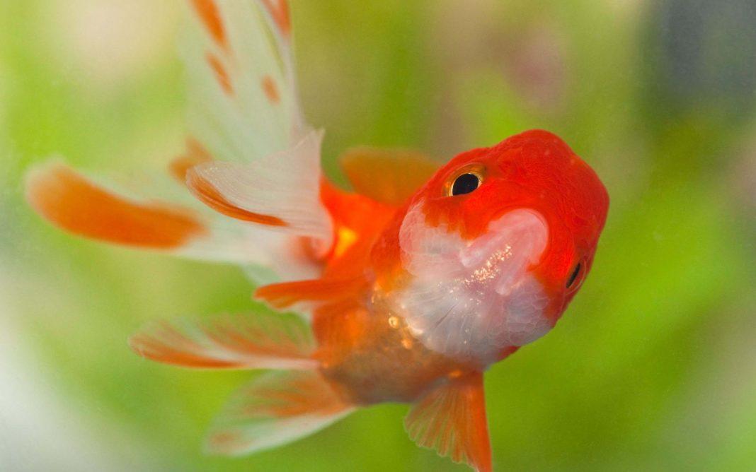 Bộ sưu tập cá Koi đẹp 10