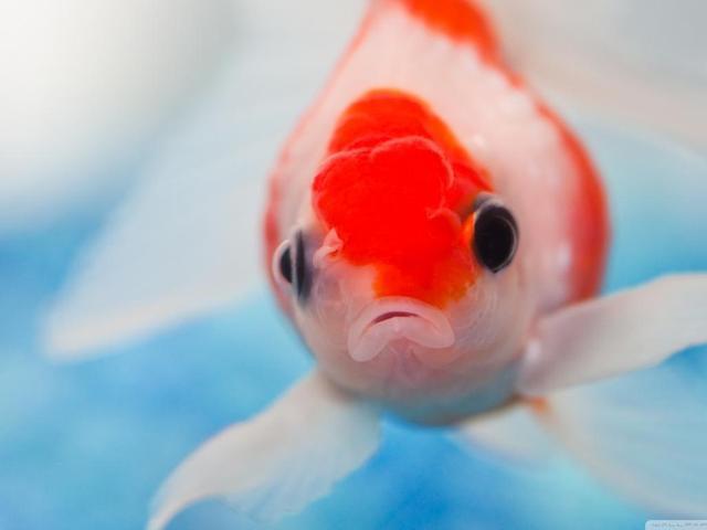 Bộ sưu tập cá Koi đẹp 11
