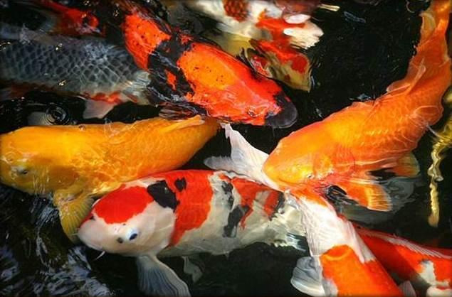 Bộ sưu tập cá Koi đẹp 12