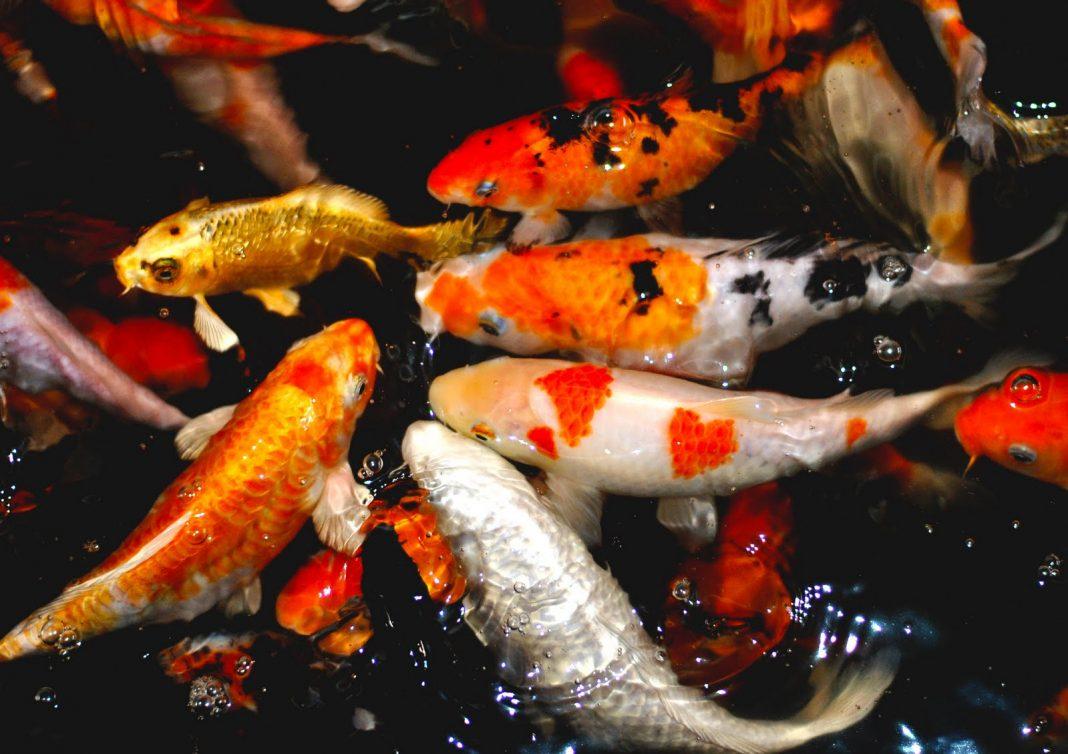 Bộ sưu tập cá Koi đẹp 13