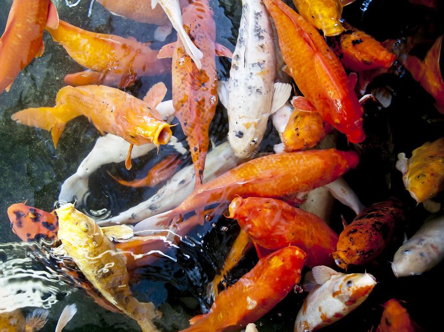 Bộ sưu tập cá Koi đẹp 14