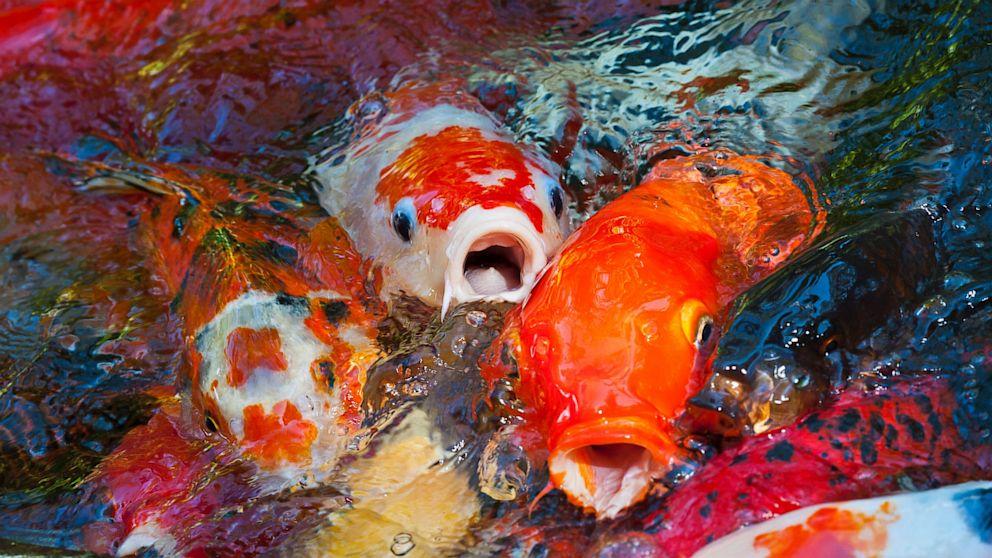 Bộ sưu tập cá Koi đẹp 16