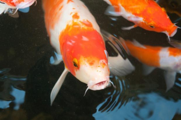 Bộ sưu tập cá Koi đẹp 17