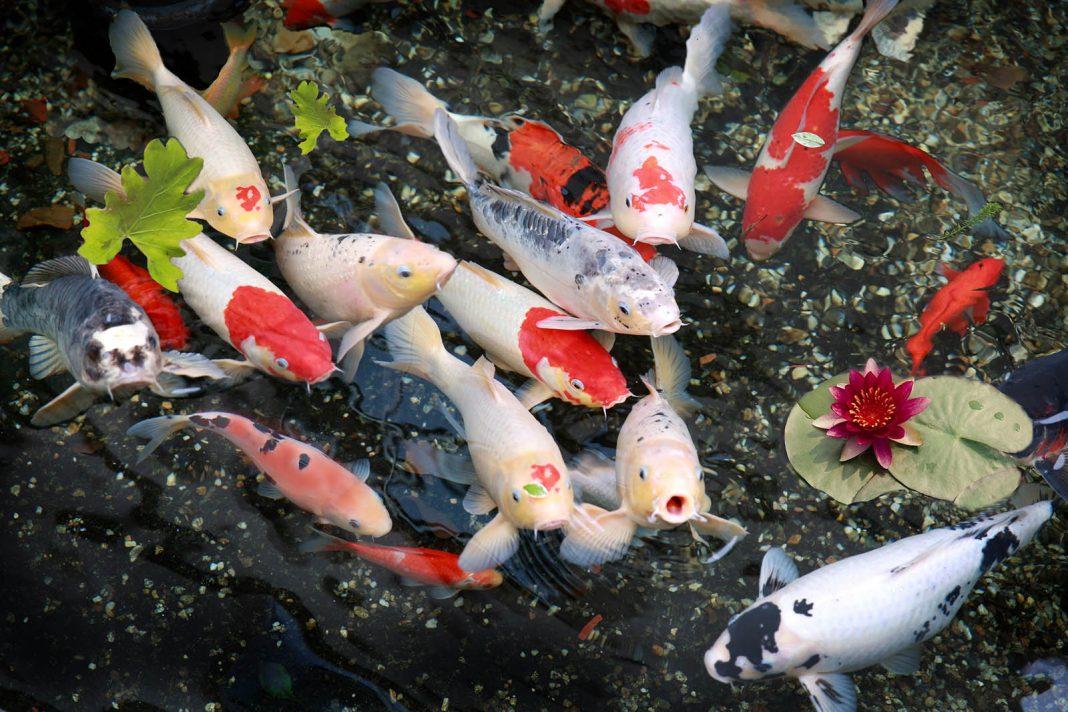 Bộ sưu tập cá Koi đẹp 18