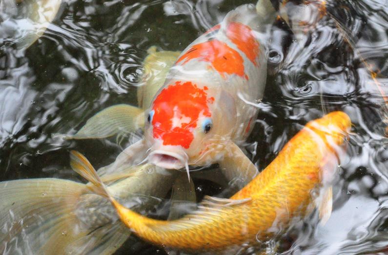 Bộ sưu tập cá Koi đẹp 19