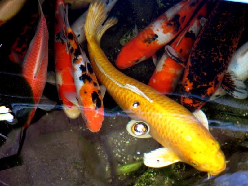 Bộ sưu tập cá Koi đẹp 20