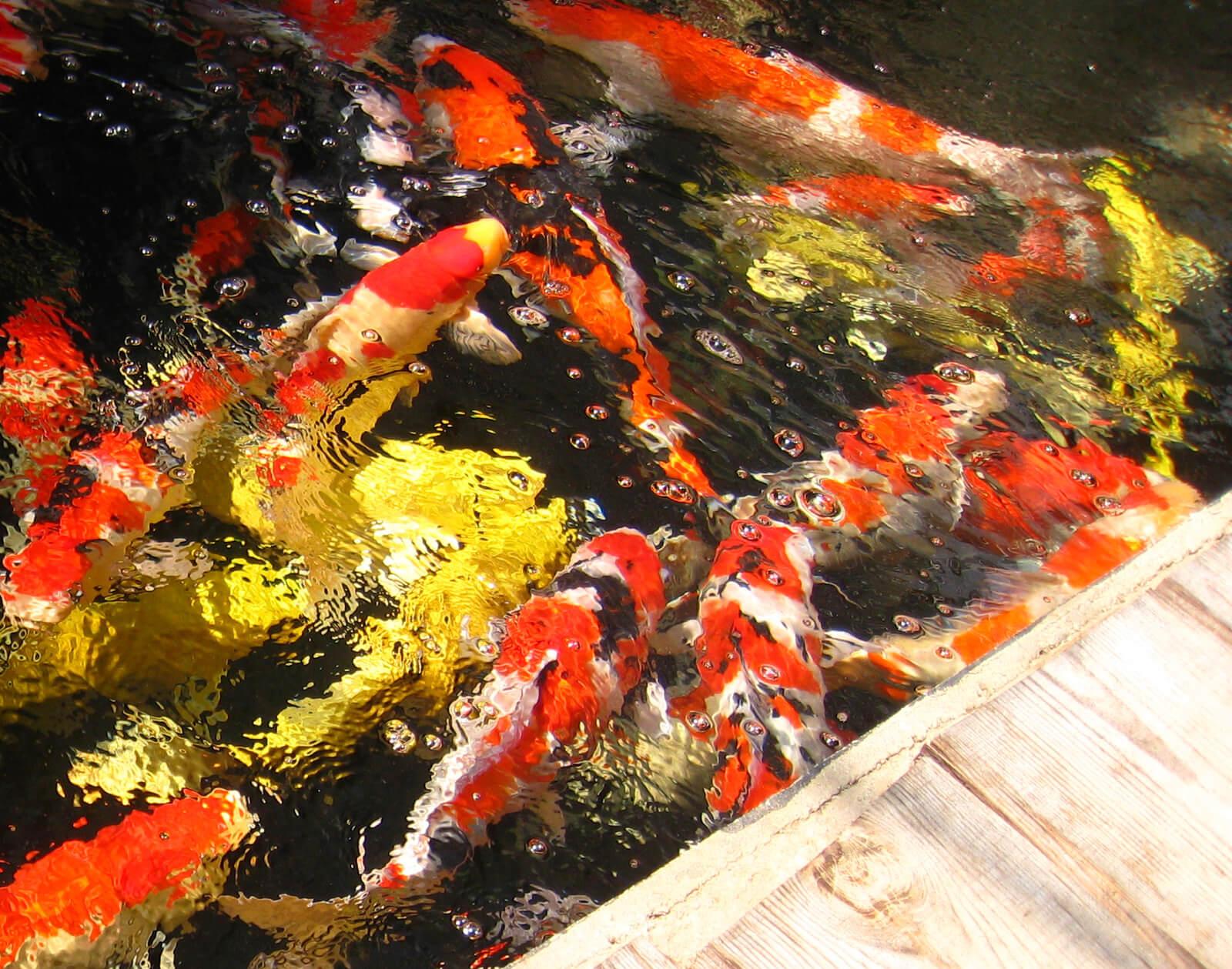 Hồ cá chép Koi Nhật Bản