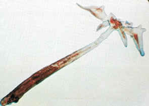 Phóng đại con trùng mỏ neo