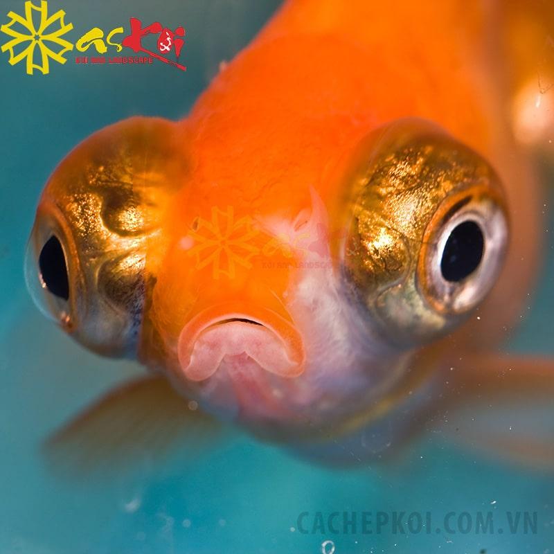 Biểu hiện cá koi bị bệnh lồi mắt
